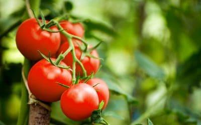 Zašto je rajčica dobra za zdravlje