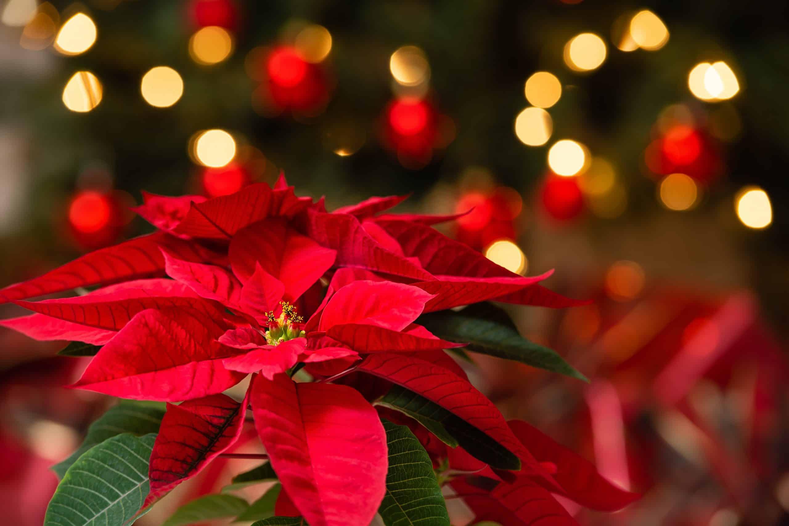 Kako održavati i sačuvati Božićnu zvijezdu