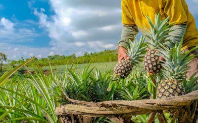 Kako posaditi ananas