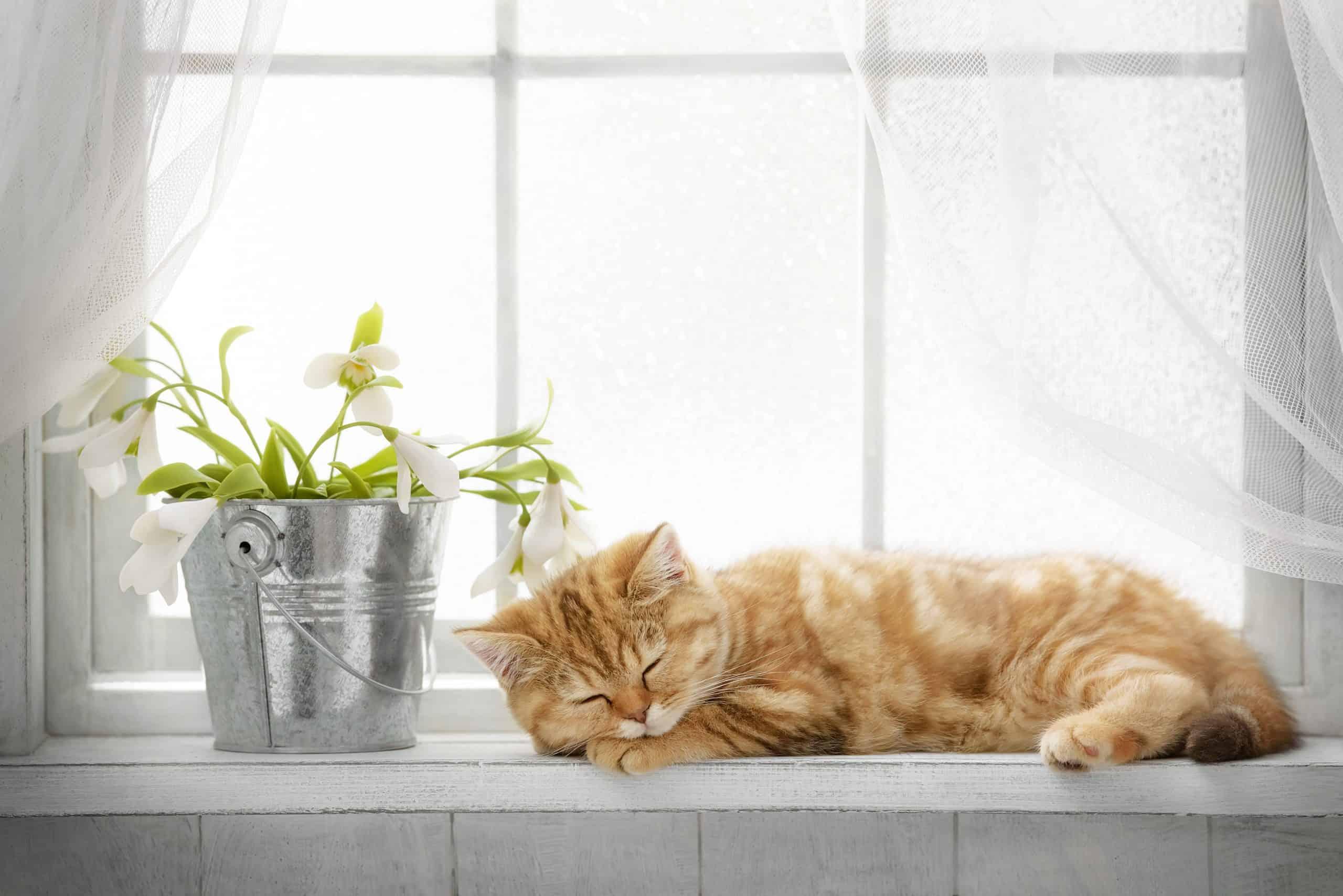 Sanjarica mačka