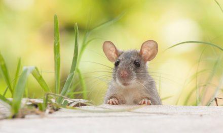 Sanjarica miš