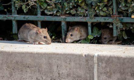 Sanjarica štakor