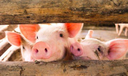 Sanjarica svinja