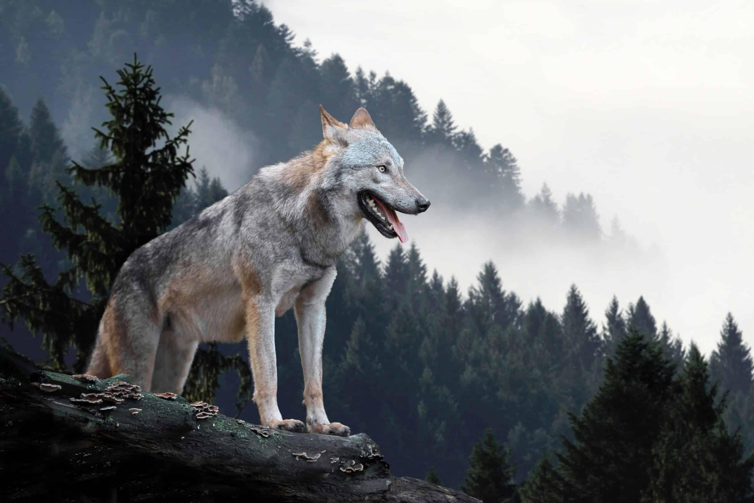 Sanjarica vuk