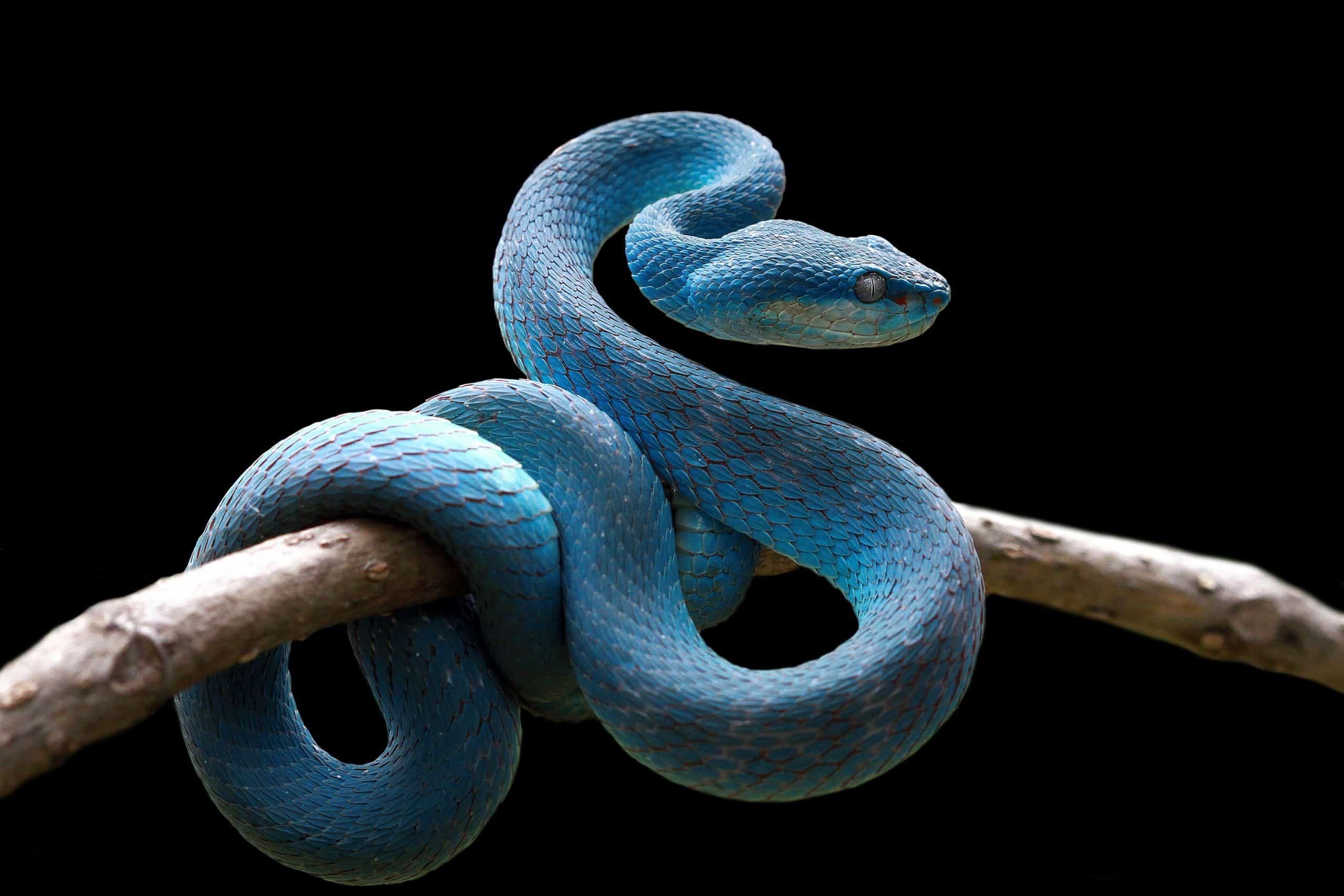 Sanjarica zmija
